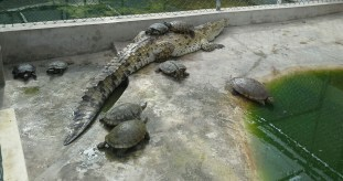 The turtles are safe until this crocodile's jaws grow big enough to crunch their shells