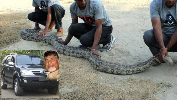 Python eating to hen in way of chandrababu root