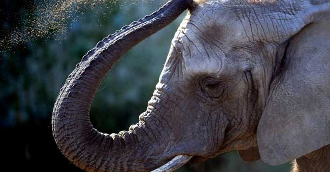 Man kidnaps 'his own' elephant from Forest Officials.
