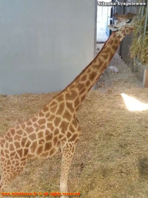 nilanka-urapelewwe-blog-voyage-france-zoo-de-vincennes-travel-blog-telunfusee-17