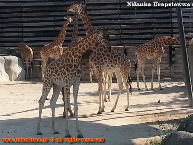nilanka-urapelewwe-blog-voyage-france-zoo-de-vincennes-travel-blog-telunfusee-7