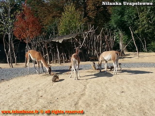 nilanka-urapelewwe-blog-voyage-france-zoo-de-vincennes-travel-blog-telunfusee