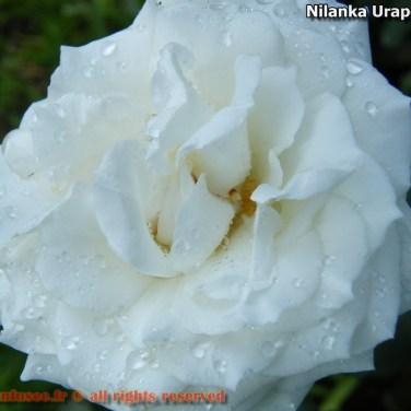 nilanka-urapelewwe-blog-voyage-sri-lanka-welimada-travel-blog-telunfusee-48