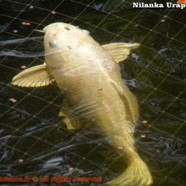 nilanka-urapelewwe-blog-voyage-sri-lanka-welimada-travel-blog-telunfusee-74