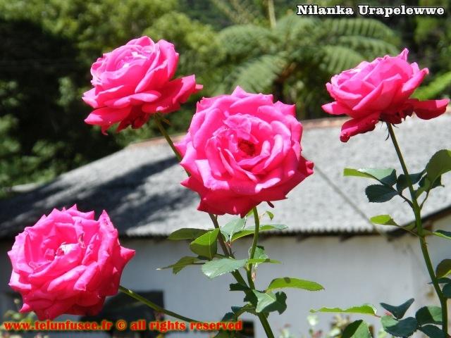 nilanka-urapelewwe-blog-voyage-srilanka-hakgala-garden-nuwara-eliya-travel-blog-telunfusee-8