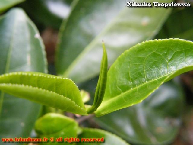nilanka-urapelewwe-blog-voyage-sri-lanka-dambethanna-liptons-seat-travel-blog-telunfusee-15