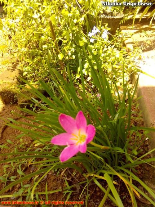 nilanka-urapelewwe-blog-voyage-sri-lanka-kalutara-travel-blog-telunfusee-15