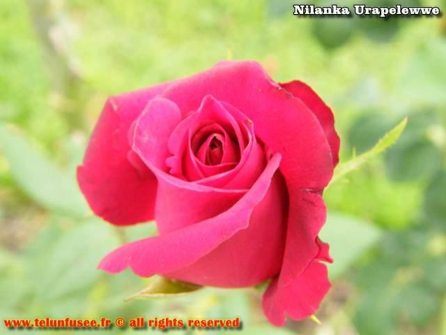 nilanka-urapelewwe-blog-voyage-sri-lanka-welimada-travel-blog-telunfusee-5