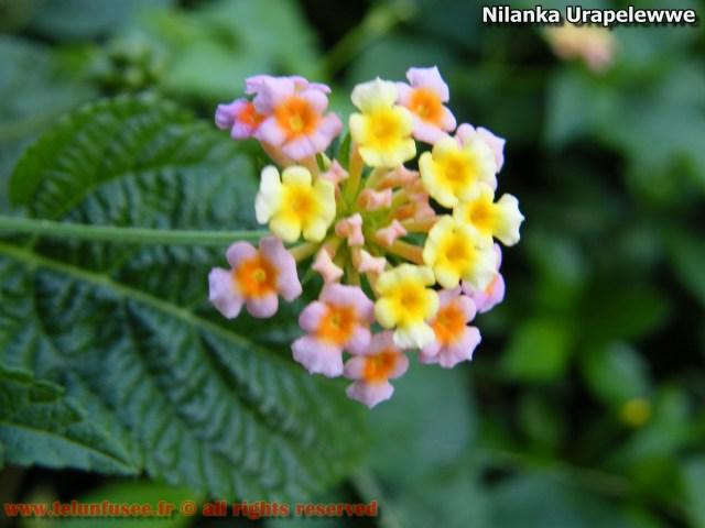 nilanka-urapelewwe-blog-voyage-telunfusee-gampaha-colombo-01-srilanka-travel-blog