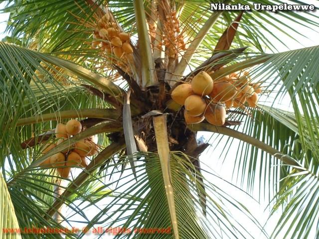 nilanka-urapelewwe-blog-voyage-telunfusee-gampaha-colombo-010-srilanka-travel-blog
