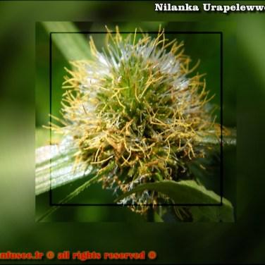 nilanka-urapelewwe-blog-voyage-sri-lanka-creative-pictures-travel-blog-telunfusee-fr-4