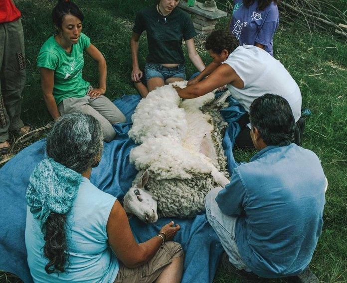 Tosando ovelhas em ecovila na Argentina.