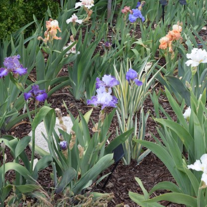 Rainbow of bearded iris