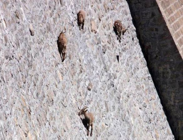 the-world_s-top-10-best-images-of-climbing-goats-3