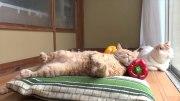 パプリカを枕に熟睡する猫