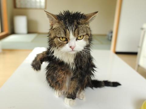 10-お風呂が嫌いな猫の不機嫌な写真15枚
