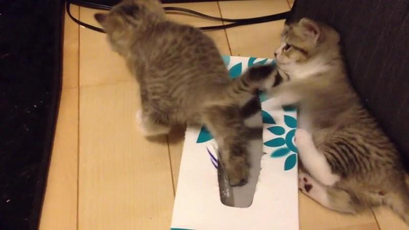 ティッシュ箱の中に入りたい〜。なかなか入れない仔猫、その理由とは?06