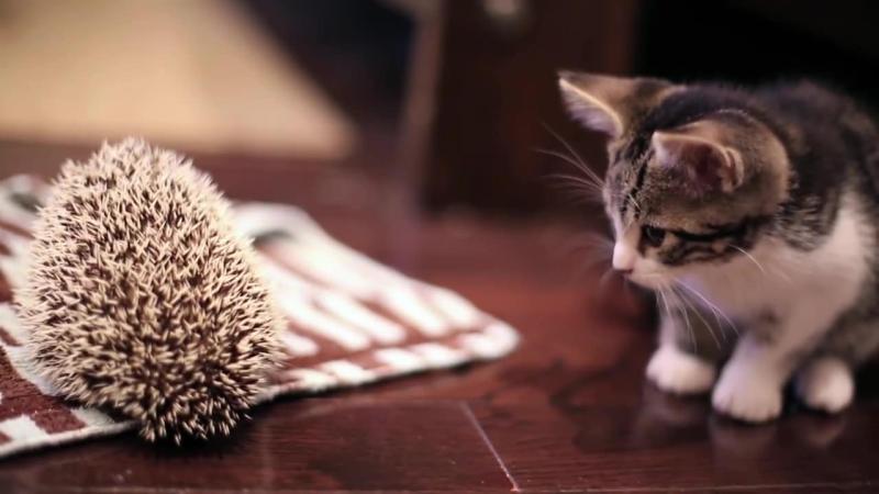 06-子ネコさんとハリネズミ。まだちょっとお互いが怖いけど友だちになれるかな?