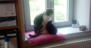 thumb-子猫を保護しすでに飼っている先輩猫に引き合わせた結果 先輩猫の優しさにキュン。