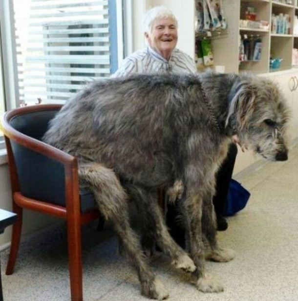 21-Amazing_And_Huge_Dog-610x617