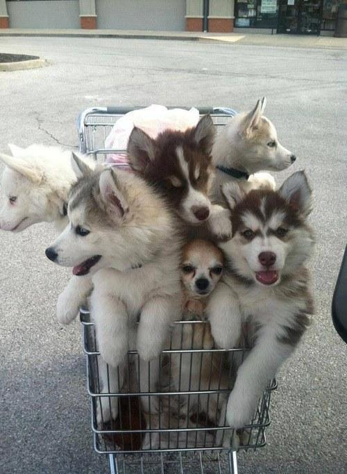 cartdogs1