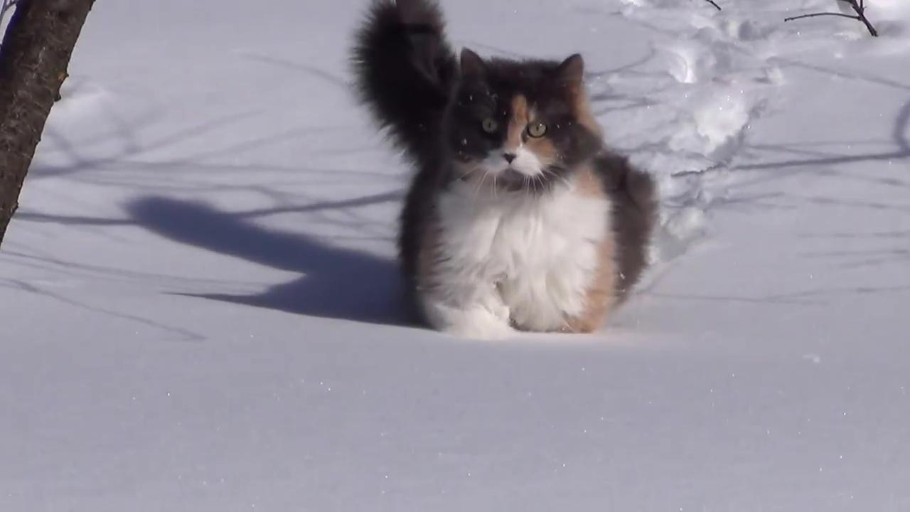 01-雪なんてへっちゃら! もふもふネコがズンズン歩く