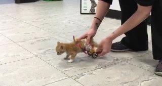 後ろ足が不自由な子ネコさんのために動物病院のみんなが車いすをプレゼント!うまく歩けるかな?