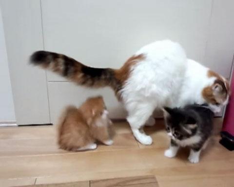 02「あわわわわっ」まさかのハプニング!マンチカンの子ネコさんがびっくりして倒れてしまう姿に駆けつけて抱きしめたくなる!