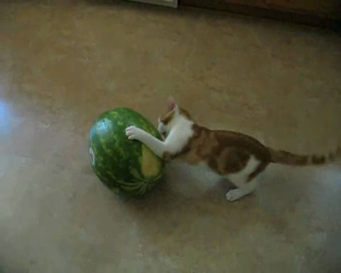 01「ちょ、そのままじゃたべれないよっ(笑)」スイカをまるごとたべようとする子ネコさんにつっこまずにはいられない!