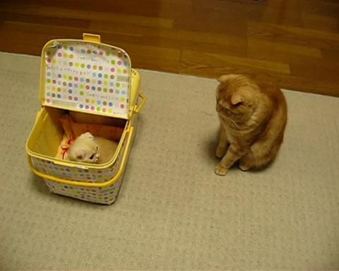 04「まいったにゃぁ~」いきなり新しく家にやってきた子ネコさんに先輩ネコさんがそわそわしてる・・・(笑)
