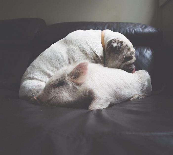 pig-puppy-olive-1