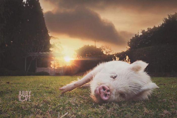 pig-puppy-olive-12