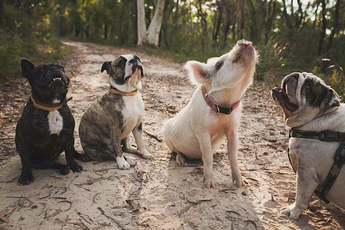pig-puppy-olive-33