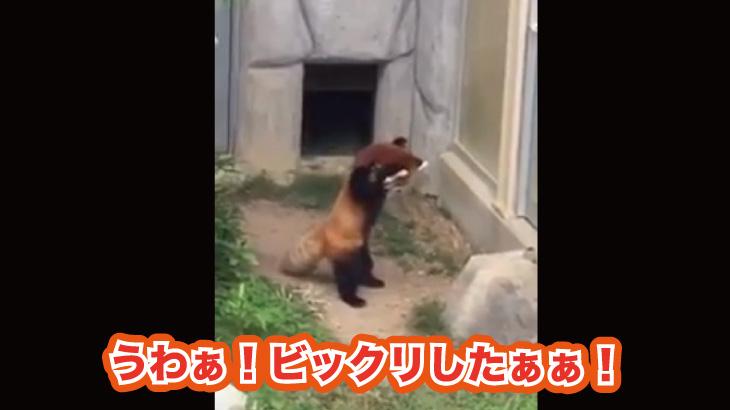 画像 レッサーパンダさん 置いてある岩にビックリして威嚇してしまう(笑)