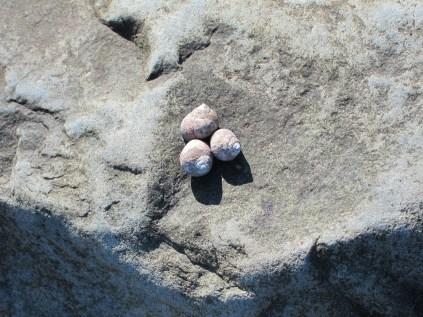 Three little snail pals on a big rock.