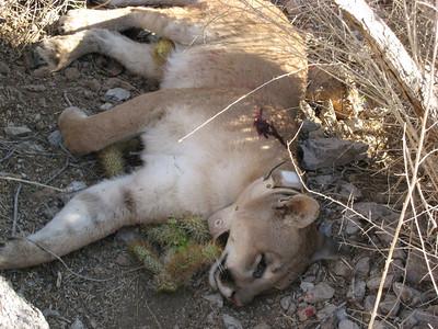 kofa lion, dead