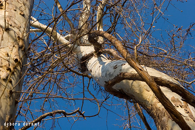 sycamore tree, looking up