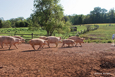 feeding time for the pigs at ps