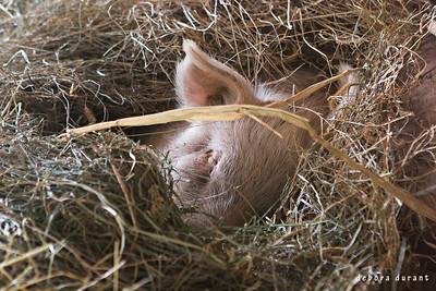 wilbur snuggled in the hay