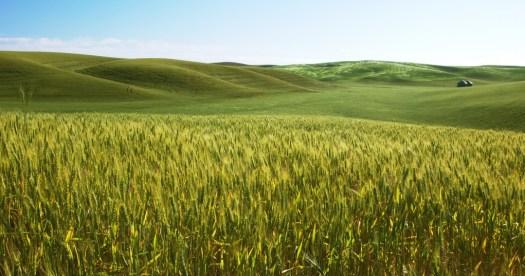 Barley Field (Wiki)