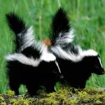 Skunk (yourstupidadvice-files-wordpress-com)