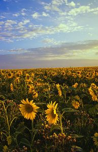 Sunflowers - Trevor Bauer - Field_of_sunflowers_Manitoba_Canada (www-trafficmedia-ca)