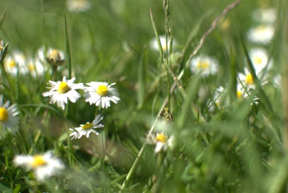 The daisies push through the ryegrass - which in time we hope will give way to fescues and other more attractive grasses
