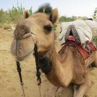 Camel Safaris and Sand Dunes in Jaisalmer