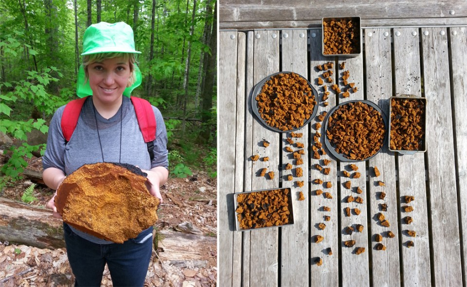 left: Jessica with chaga. right: Chaga pieces drying in the sun.