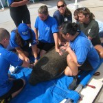 SeaWorld Orlando Caring for 500th Rescued Manatee,  Found Near Cape Canaveral, Fla.