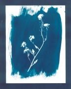 cyanotypes fleurs - 11