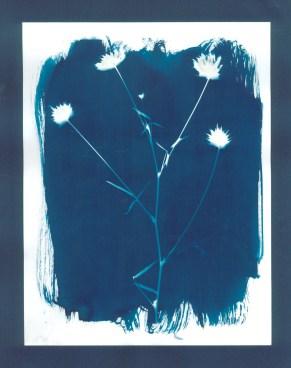 cyanotypes fleurs - 20