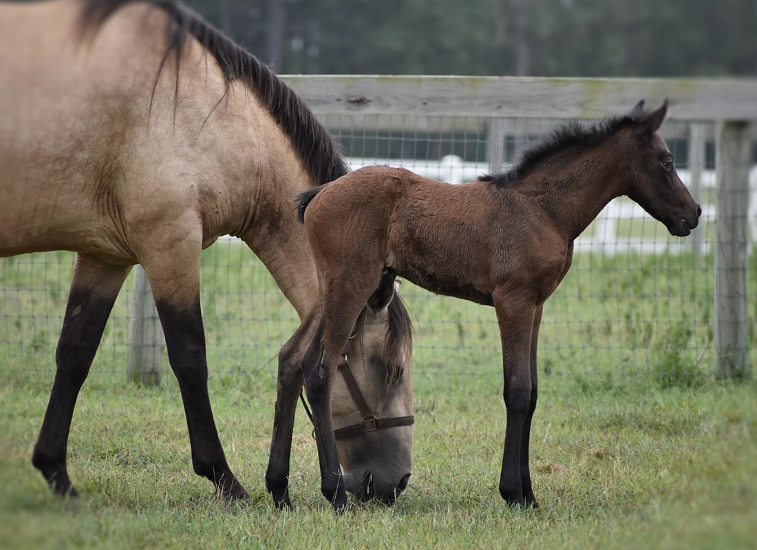 Lusitano mother grazing with filly by her side