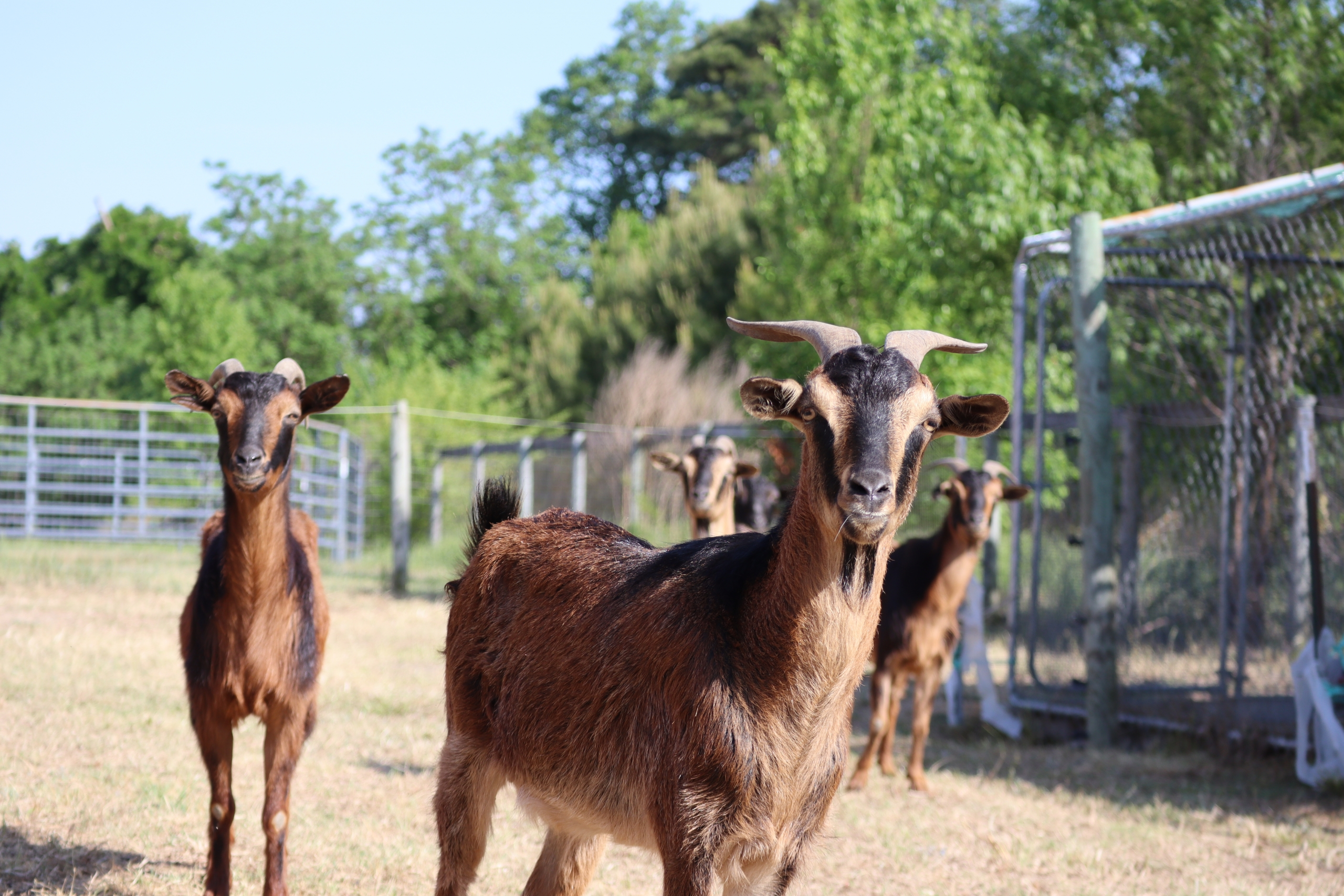 Critically endangered San Clemente Island Goats in the field